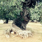 Temperature Controlled Storage & Ancient Olive Trees
